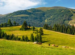 Cows grazing near conifer forest in mountains. Lovely rural landscape in Summer - Biodiversity Workshop 25 October 2017: